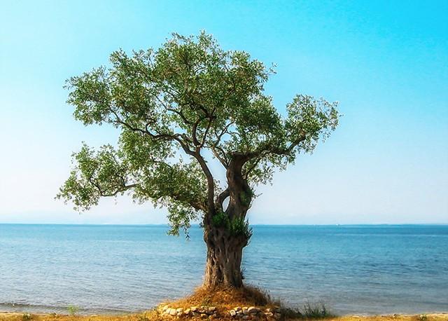 paleros-travel-agroturism-olive-tree