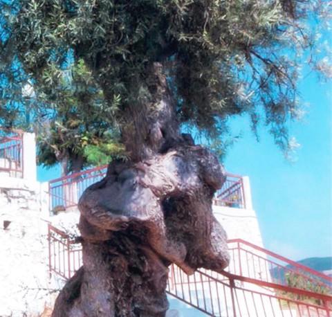 Palairos Travel - Agroturism - Olive tree